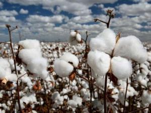 棉花今年低价仅3元一斤农户伤心 企业偏向用外棉